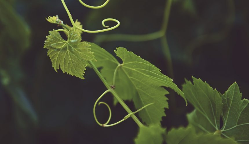 John 15:1-17 — In the Vinegrower's Care